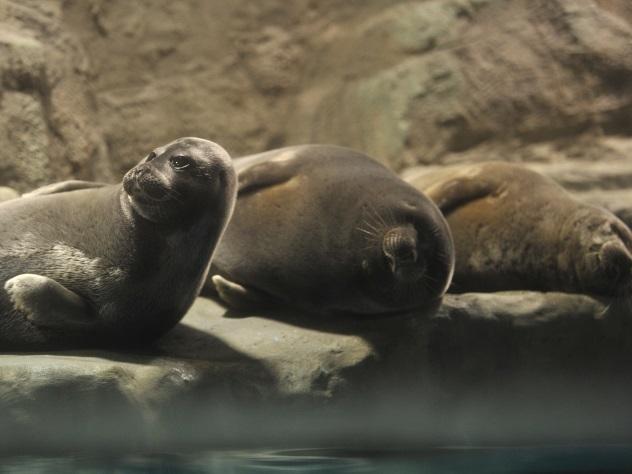 Вяпонском зоопарке тюлень подружился сплюшевым тюлененком