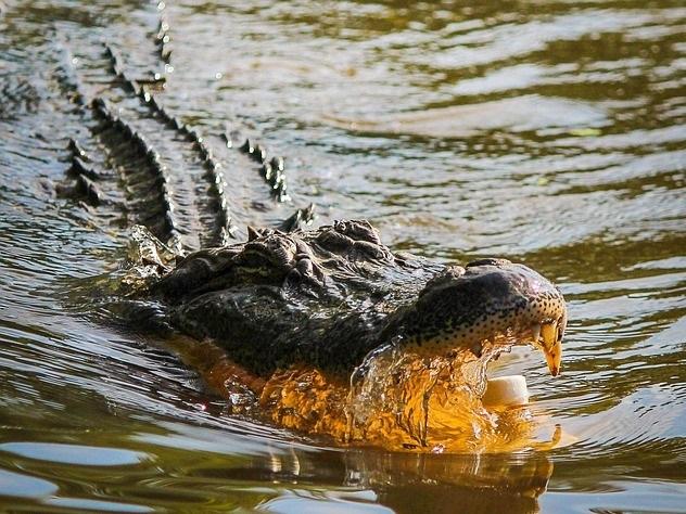 Тело охотника нашли в желудках двух аллигаторов в Африке