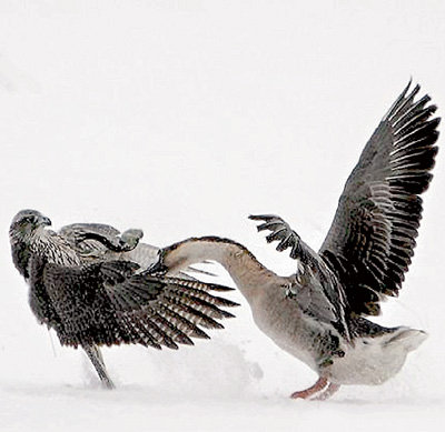 Домашняя птица показала крылатому разбойнику, где раки зимуют