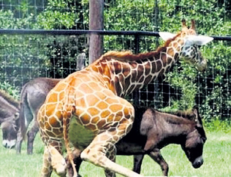 «Жираф влюбился в антилопу», - пел Владимир ВЫСОЦКИЙ. На худой конец сгодится и ослица