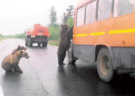 Охотники говорят, что медведь, встреченный в тайге весной или летом, неопасен даже для безоружного человека - согласно «таёжной этике» в него нельзя стрелять. Реальную угрозу для людей представляют лишь медведи-шатуны, не залегшие в зимнюю спячку