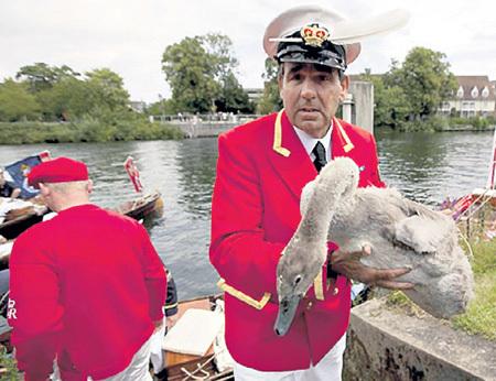 Ежегодно считать лебедей на Темзе начали в XII веке. Сначала - для того чтобы не оскудел королевский стол, позднее -  в научных целях