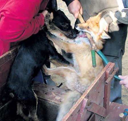 Чтобы разнять сцепившихся животных, им разжимают челюсти палкой, нередко ломая зубы