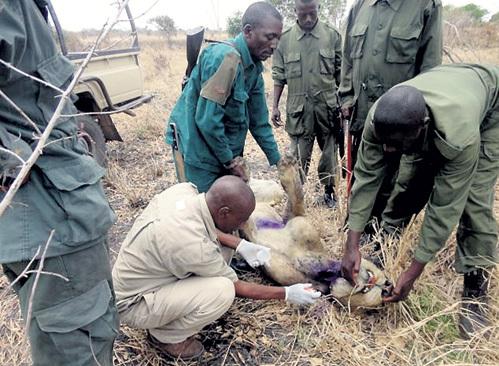 Рейнджеры выследили зверя, а ветеринары усыпили и срезали удавку