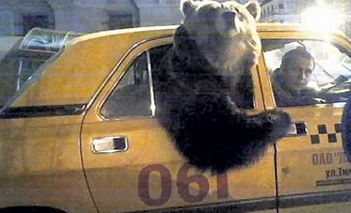 Медведи по нашим улицам не гуляют, они на такси катаются. Фото: krabov.net