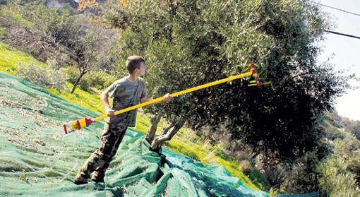 Тысячи наших граждан с конца октября и до Нового года нелегально нанимаются сборщиками оливок и маслин... Фото: krit-vnutri.livejournal.com