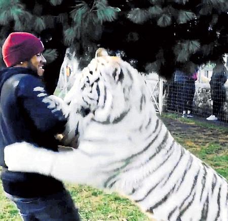 В тигре прославленный автогонщик Льюис ХЭМИЛТОН...