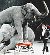 НА АРЕНЕ ЦИРКА: слоны нехотя повиновались дрессировщику