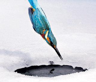 В России зимородок рыбачит в водоёмах Приморья, на Урале и даже в черте Москвы