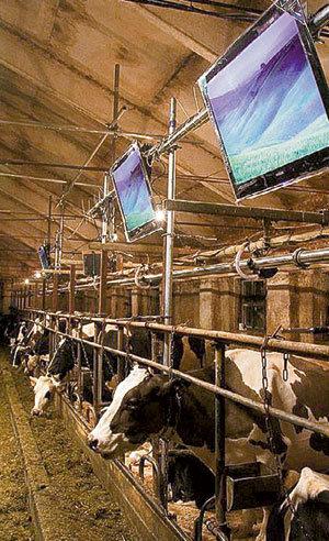 Глядя на красивую картинку, коровы должны думать, что их тесное стойло - это альпийские просторы