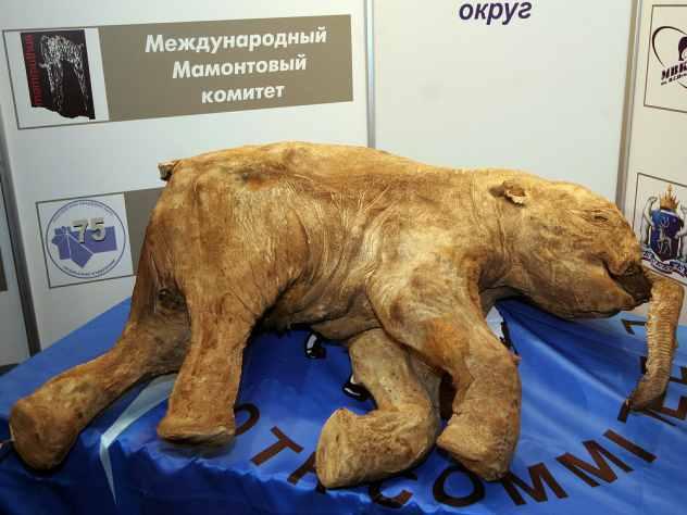 ВАвстралии навыставке покажут мамонтенка Любу сЯмала