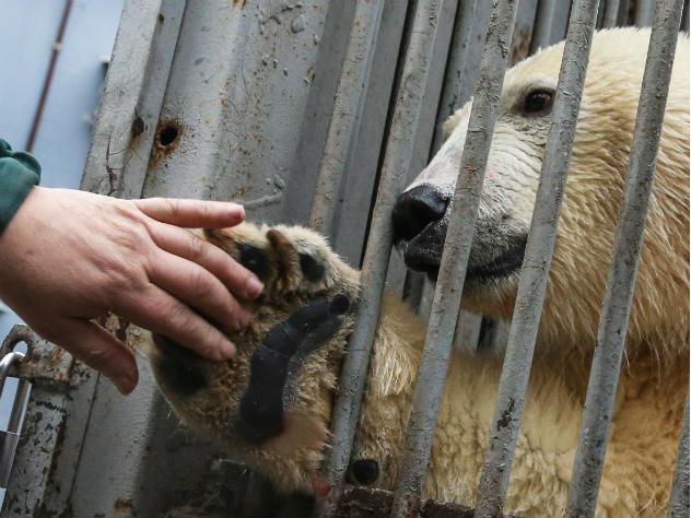 Нераспроданные елки стали игрушками для жителей Московского зоопарка