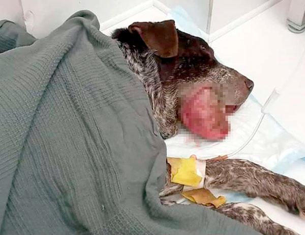 У Винсента опухоль - остеосаркома. Но его решили мучить до последнего, собирая на бесполезное лечение деньги